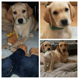 beautiful kc registered Labrador retriever puppies