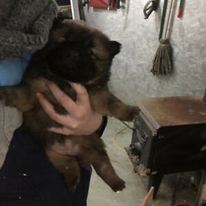 Bebes chow-chow a vendre