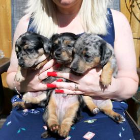 Chichaua x Miniature Dachshund puppies