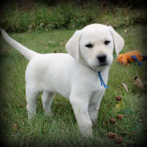 CKC Registered, Champion Sired, Purebred White Lab Pups