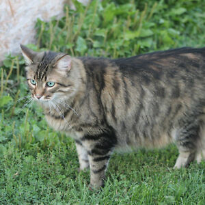 Male Maine Coon missing