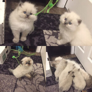 Beautiful Blue Point And Chocoalte Seal Point Himalayan Kittens
