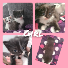 Fluffy kittens 4 weeks old