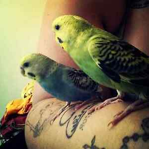 Rehoming to budgies