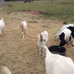 Young billy X boar goats for sale