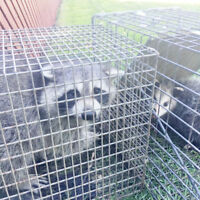 WILDLIFE REMOVAL  ( 416 834-6426 )