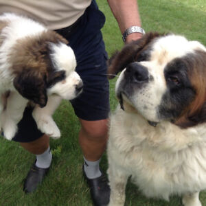 St Bernard Puppy | Kijiji in Ontario  - Buy, Sell & Save with
