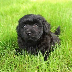 Toy Poodle / Pomeranian Mix Puppy Ready to go!
