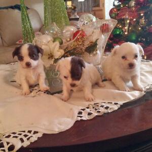 Chihuahua / Shih Tzu Mix puppies