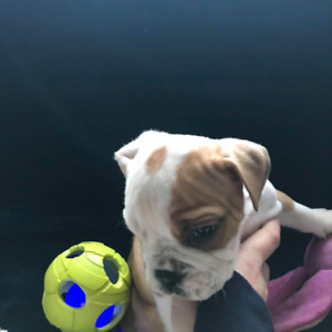 Olde English Bulldogge puppies available
