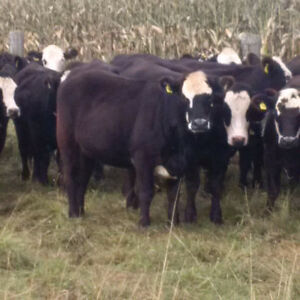 50 Black Angus/Simmental Bred Heifers For Sale Peterborough Peterborough Area image 6