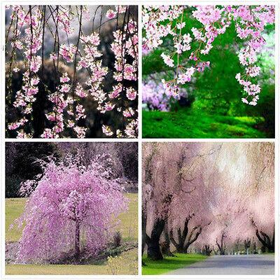 20pcs Fontana Rosa ciliegio piangente semi giardino cortile  albero seme fiore
