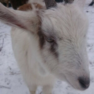 Year old alpine goats