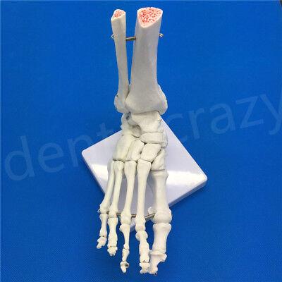 Best Foot Joint Anatomical Skeleton Model Human Medical Anatomy Life Size 1pcs