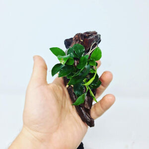 SALE- Looking to buy live aquatic freshwater plants?