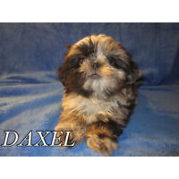 rare imperial shih tzu puppies amazing colors,tiny imperial line