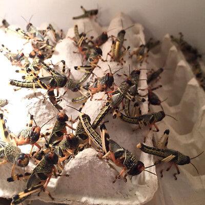 Großpackung Wüstenheuschrecken subadult ca.100 Stück -Futterinsekten,Futtertiere