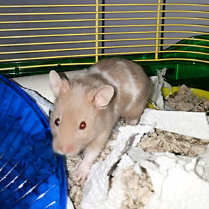 Male Shorthaired Hamster! With everything you need.