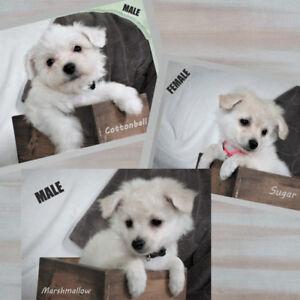 Maltese/Bishon Frise/Havanese Cross Puppies  Available
