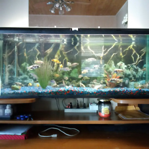 55Gallon fully loaded fish tank comes with 25+Cichlids And Decor