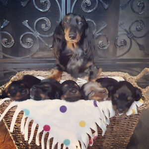 Beautiful Long Haired Dachshund Puppies for Sale