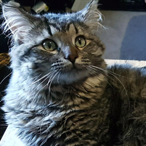 Missing tabby cat named Bobby- North Central/Dewdney area