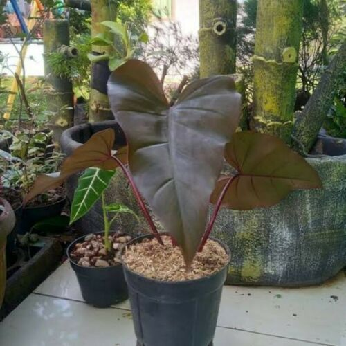 4 Philodendron Dark Lord