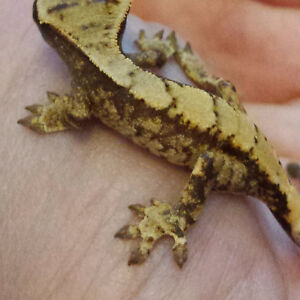 Can you see the smiley face on this crested gecko baby?