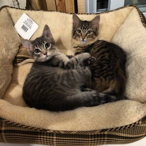 RESCUED OLDER KITTENS -  - vacc/neuter included. easy going