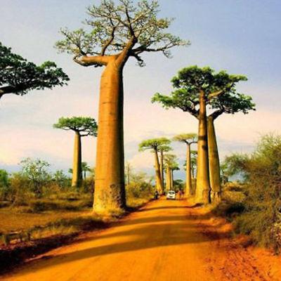 10 Seeds Baobab Tree Seeds ( Adansonia digitata ) 100% Real & High Germination Baobab Tree Seeds