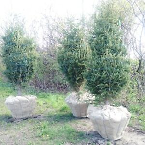 White Pine and White Spruce ( End of Season Sale)