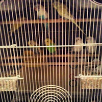 FREE 7 Budgies 2 Boys and 5 Girls