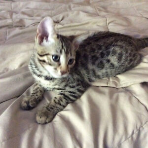 Gorgeous pure bred male Bengal cub! Amazing spots and personalit