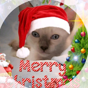 ❤SUPERBES CHATONS SIAMOIS❤STUNNING PURE  SIAMESE KITTENS❤