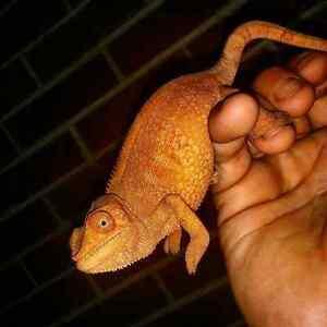 1 Adult Female ambilobe panther chameleon