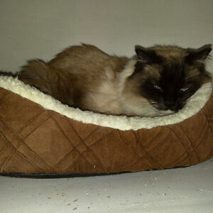 Purebred Female Birman Cat