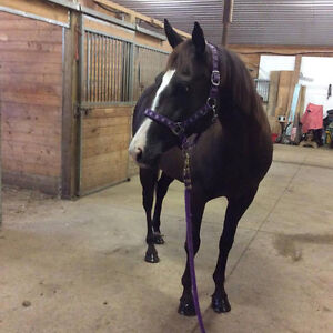 QH Mare for Sale English/Western/Trail