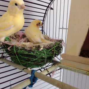 Beaux Canaries