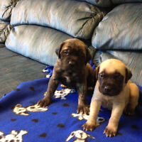 CKC Registered Olde English Mastiff Puppies