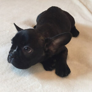 French Bulldog babies for sale :)
