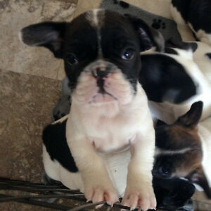 French Bulldog Puppies if u c ad still available :)