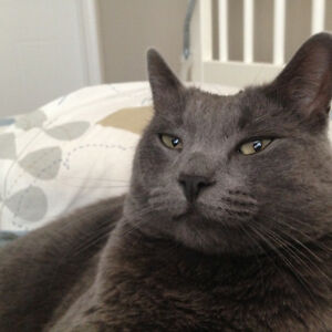 Still missing in Skyview area - Adult male grey cat