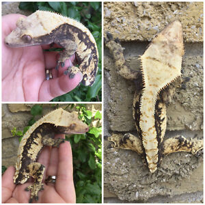 Male Crested Geckos for Sale