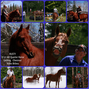 Quarter Horse Gelding for sale /looking for new home