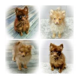 💜 Pomeranian Puppies 💜