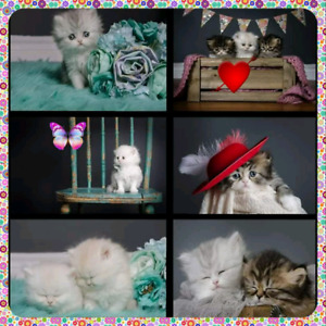 Pure breed Persian persan upcoming litter