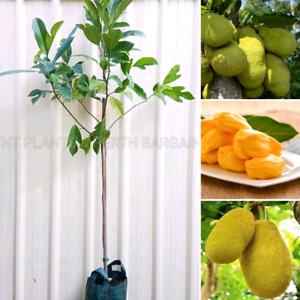 Jackfruit Jakfruit Fruit Trees Plants from $50