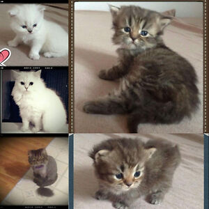 Beautiful Persian cats available now for reservations.