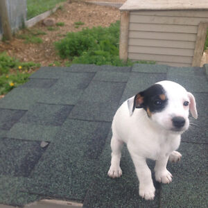 Jack Russell Puppies: 3 Female, 1 Male