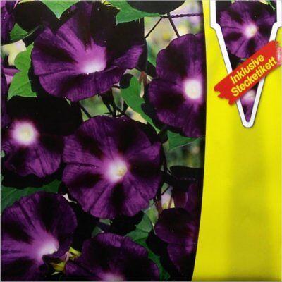 MORNING GLORY (Ipomoea purpurea Wetterleuchten) 25 seeds (#1859) - Morning Glory Ipomoea Purpurea